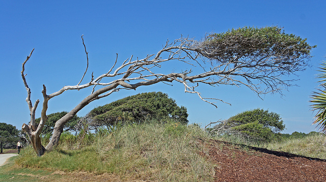 Windswept tree (Flickr: lotopspin)