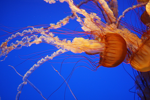 Jellyfish (Flickr: the tahoe guy)