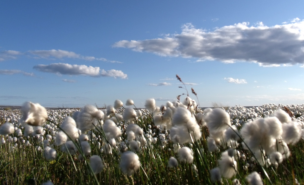 (Sea of Cotton by Mike Beauregard/Flickr)