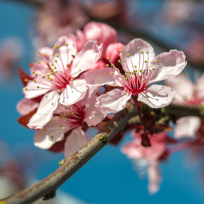 Cherry blossoms for budding writers